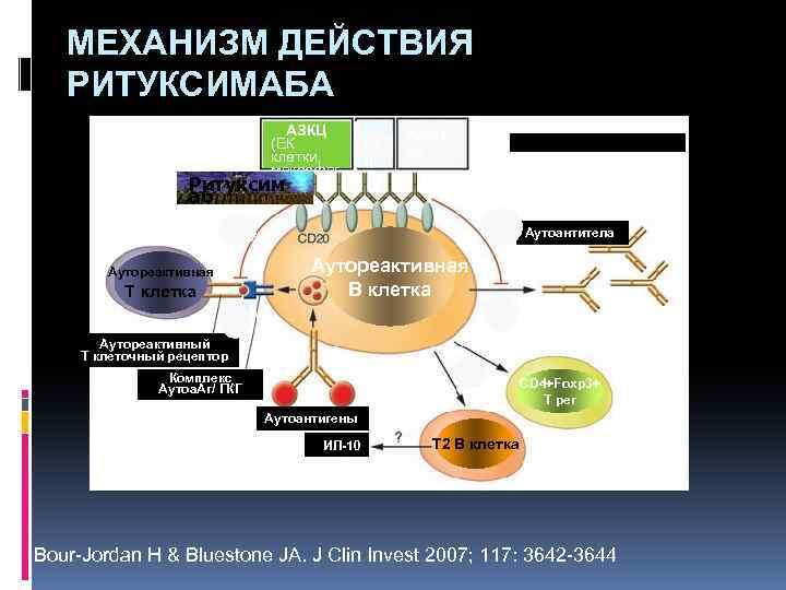 МЕХАНИЗМ ДЕЙСТВИЯ РИТУКСИМАБА АЗКЦ (ЕК клетки, макрофаг и) Ритуксим КЗ Ц Апопт оз аб