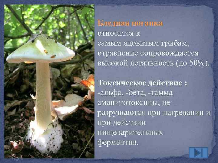 Что относится к едовитым грибам