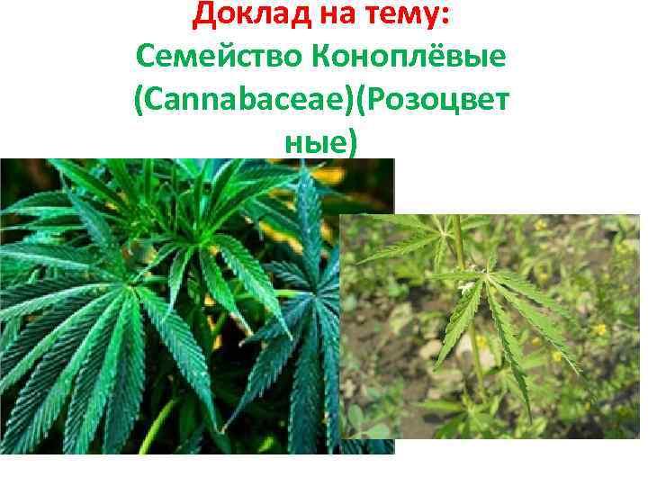 выращивать марихуана