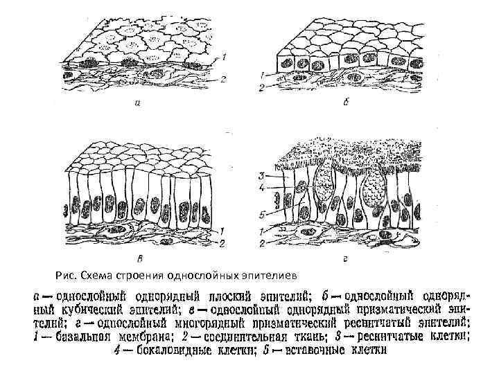 Рис. Схема строения однослойных эпителиев