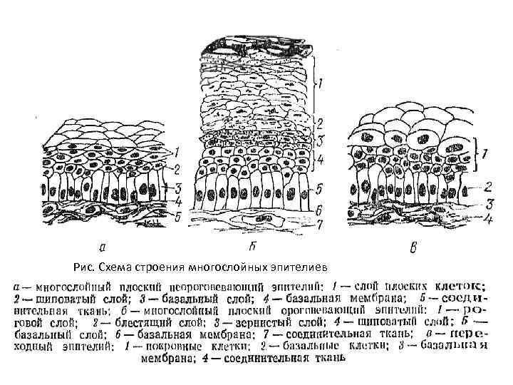 Рис. Схема строения многослойных эпителиев