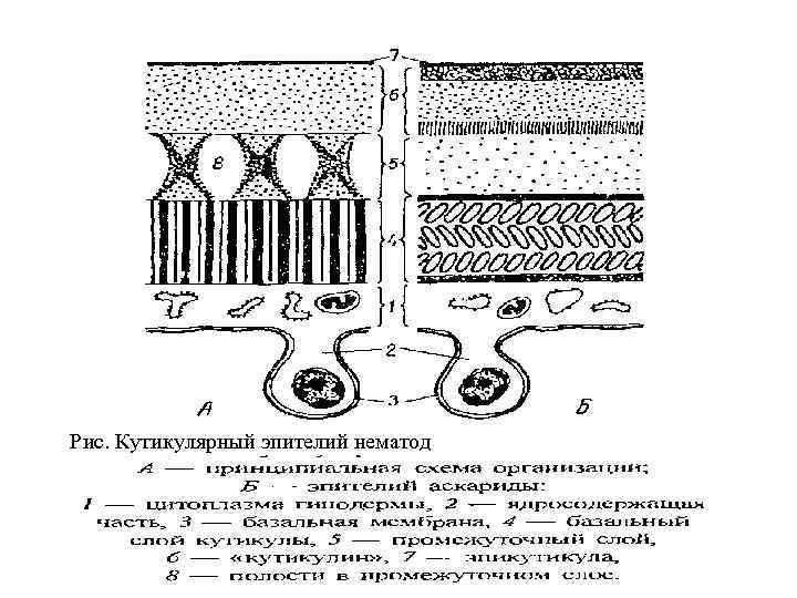 Рис. Кутикулярный эпителий нематод
