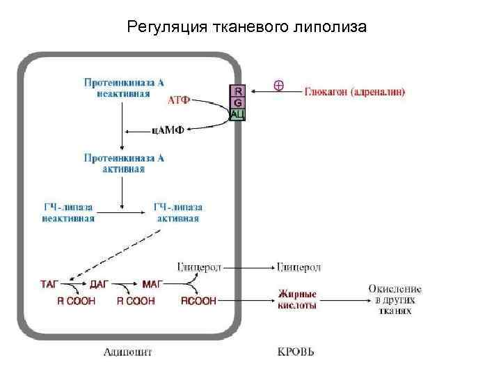 Регуляция тканевого липолиза