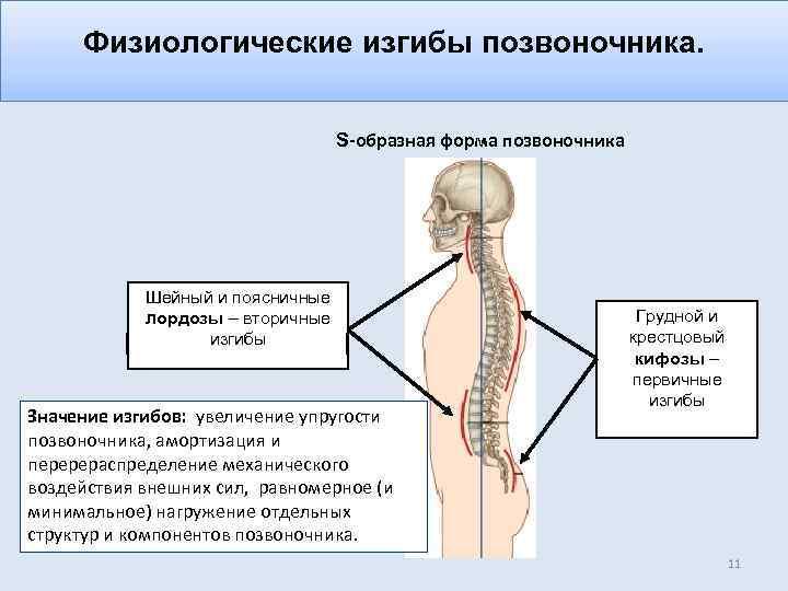 Физиологические изгибы позвоночника картинка