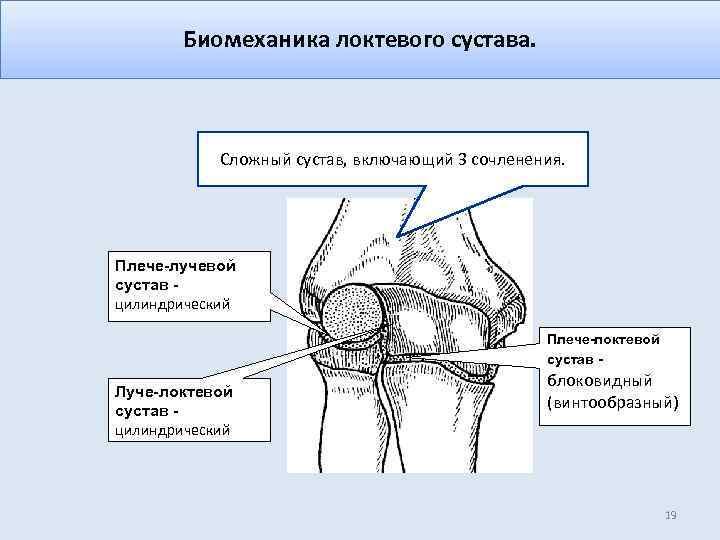 Биомеханика локтевого сустава. Сложный сустав, включающий 3 сочленения. Плече-лучевой сустав цилиндрический Плече-локтевой сустав -