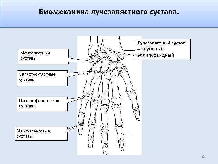 Биомеханика лучезапястного сустава. Межзапястный суставы Лучезапястный сустав – двуосный эллипсовидный Запястно-пястные суставы Пястно-фаланговые суставы