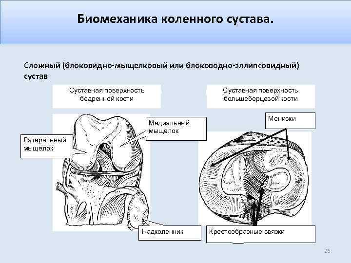 Биомеханика коленного сустава. Сложный (блоковидно-мыщелковый или блоководно-эллипсовидный) сустав Cуставная поверхность бедренной кости Cуставная поверхность