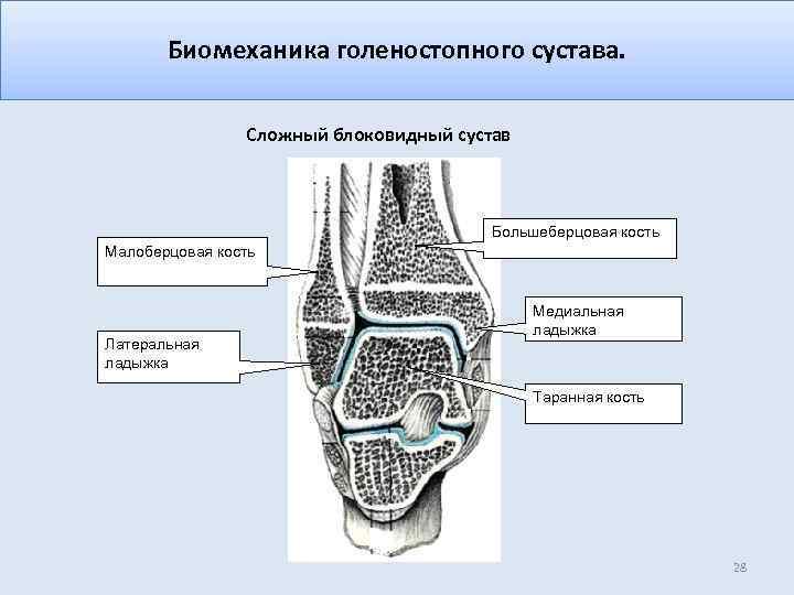 Биомеханика голеностопного сустава. Сложный блоковидный сустав Большеберцовая кость Малоберцовая кость Латеральная ладыжка Медиальная ладыжка