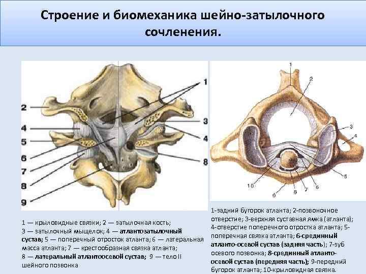 Строение и биомеханика шейно-затылочного сочленения. 1 -задний бугорок атланта; 2 -позвоночное отверстие; 3 -верхняя