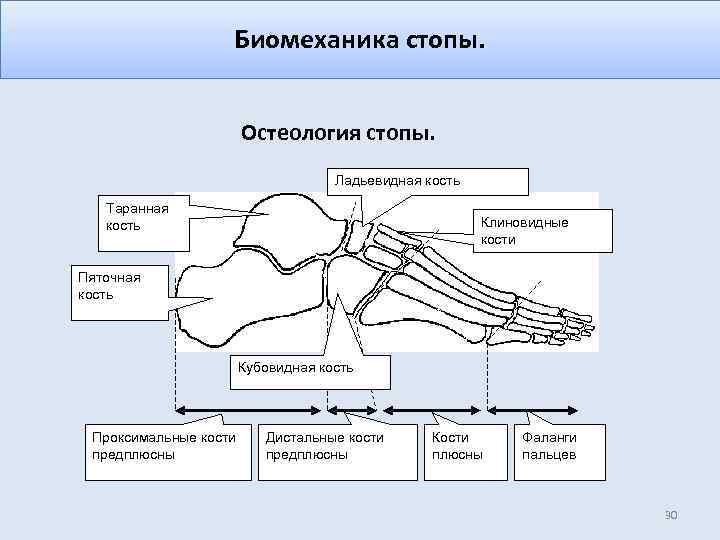 Биомеханика стопы. Остеология стопы. Ладьевидная кость Таранная кость Клиновидные кости Пяточная кость Кубовидная кость