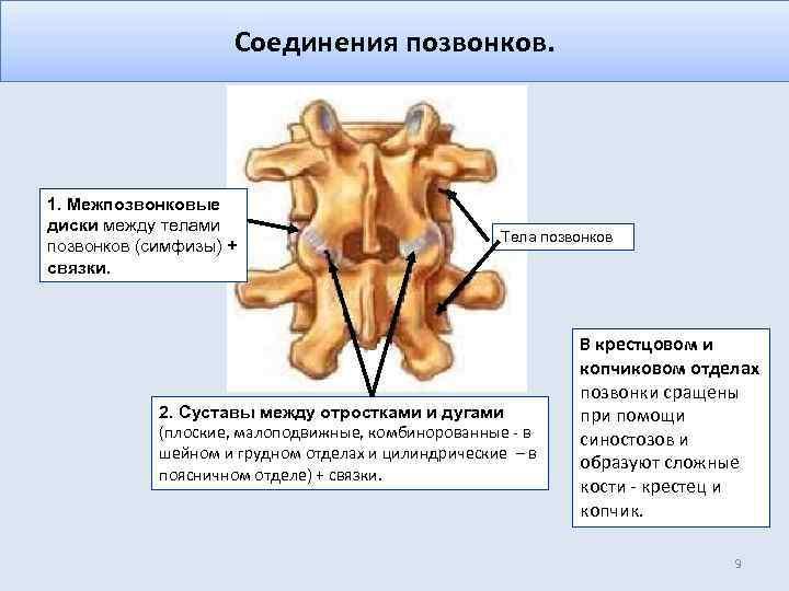 Соединения позвонков. 1. Межпозвонковые диски между телами позвонков (симфизы) + связки. Тела позвонков 2.