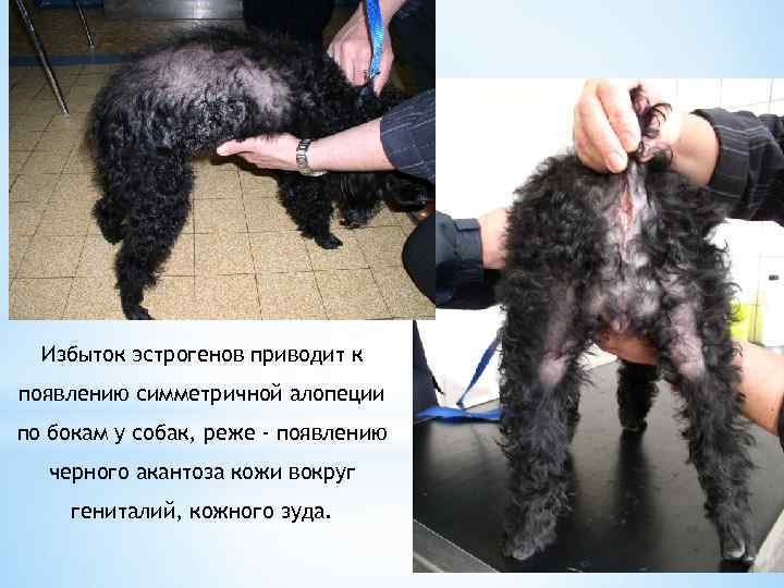 Избыток эстрогенов приводит к появлению симметричной алопеции по бокам у собак, реже - появлению
