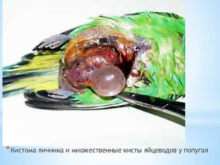 *Кистома яичника и множественные кисты яйцеводов у попугая