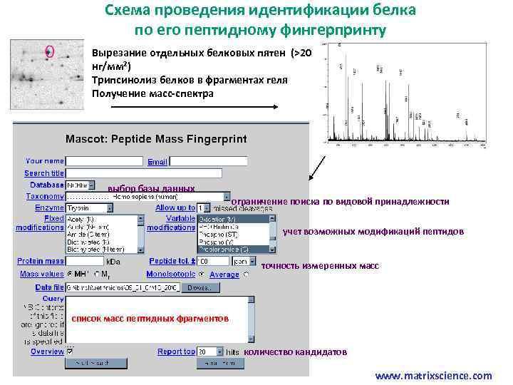 Схема проведения идентификации белка по его пептидному фингерпринту Вырезание отдельных белковых пятен (>20 нг/мм