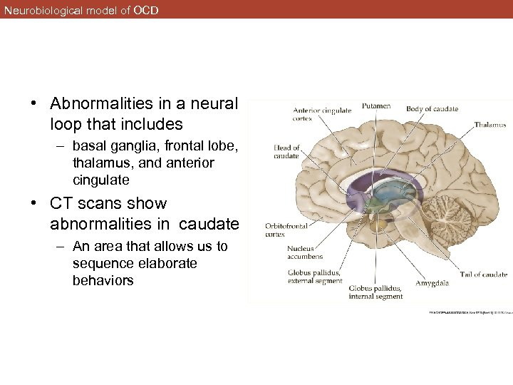 Neurobiological model of OCD • Abnormalities in a neural loop that includes – basal