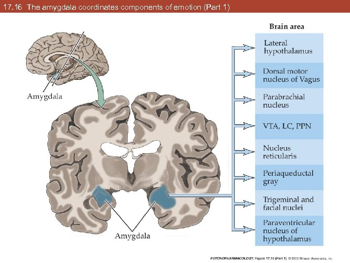 17. 16 The amygdala coordinates components of emotion (Part 1)