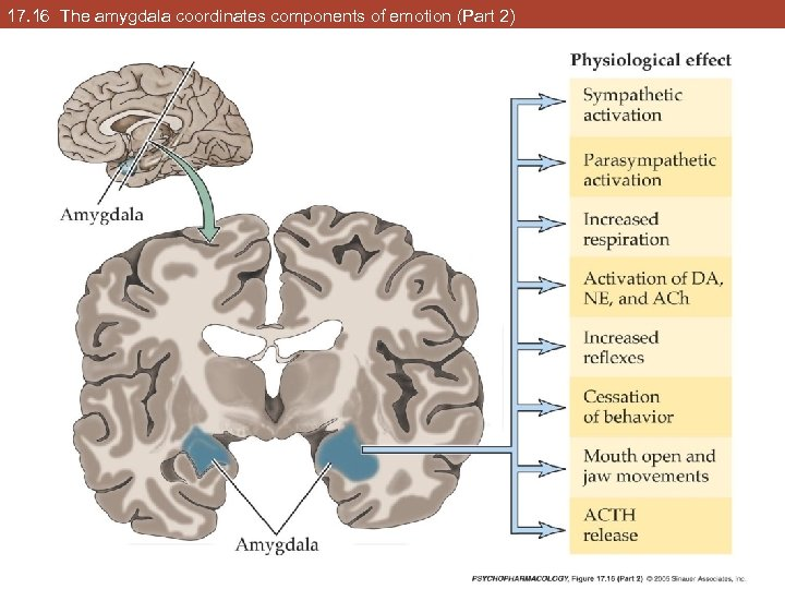 17. 16 The amygdala coordinates components of emotion (Part 2)