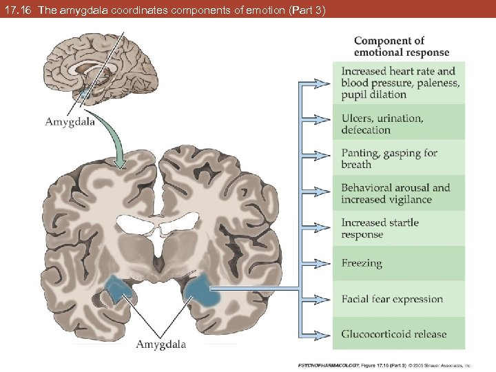 17. 16 The amygdala coordinates components of emotion (Part 3)