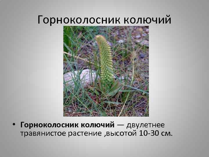 Горноколосник колючий • Горноколосник колючий — двулетнее травянистое растение , высотой 10 -30 см.