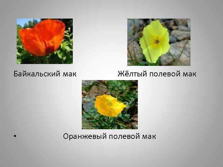 Байкальский мак • Жёлтый полевой мак Оранжевый полевой мак