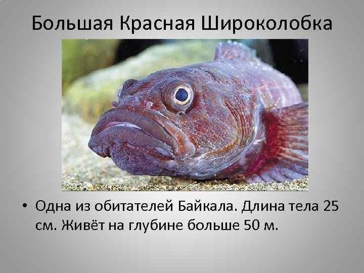 Большая Красная Широколобка • Одна из обитателей Байкала. Длина тела 25 см. Живёт на