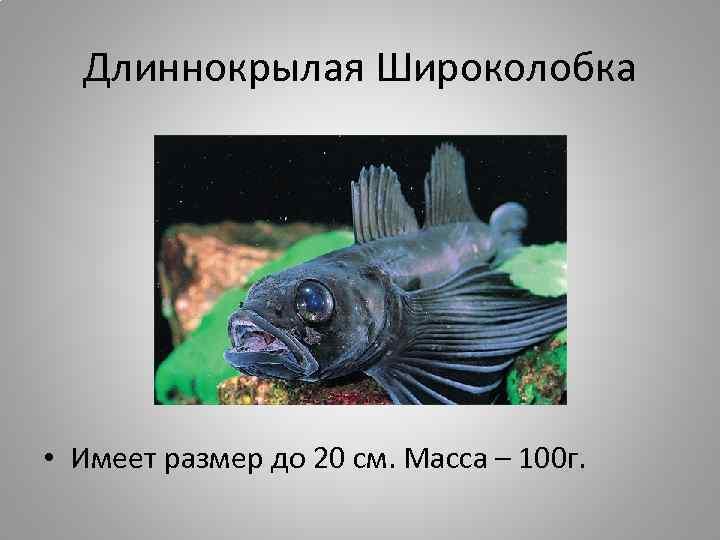 Длиннокрылая Широколобка • Имеет размер до 20 см. Масса – 100 г.