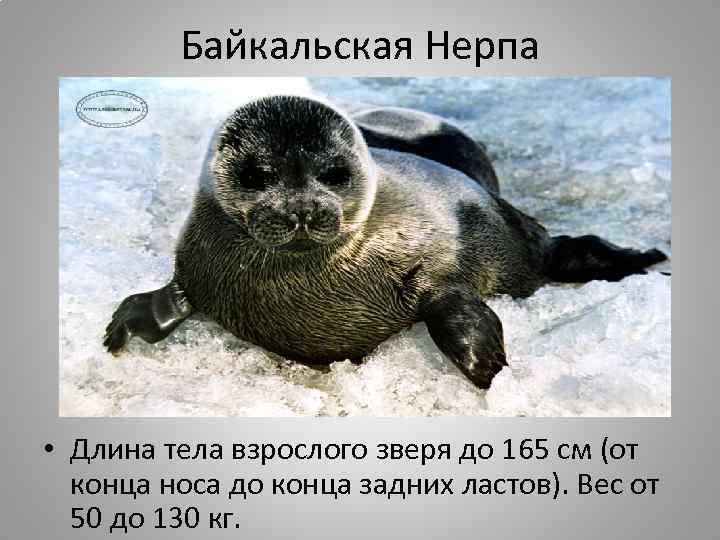 Байкальская Нерпа • Длина тела взрослого зверя до 165 см (от конца носа до