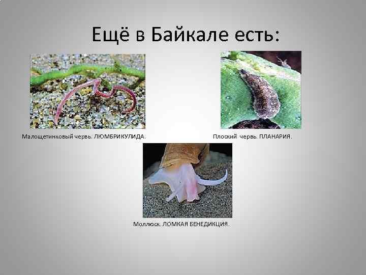 Ещё в Байкале есть: Малощетинковый червь. ЛЮМБРИКУЛИДА. Плоский червь. ПЛАНАРИЯ. Моллюск. ЛОМКАЯ БЕНЕДИКЦИЯ.