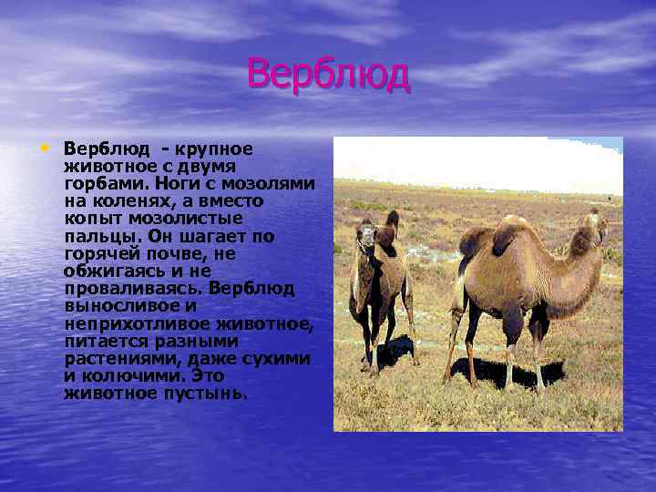 Верблюд • Верблюд - крупное животное с двумя горбами. Ноги с мозолями на коленях,