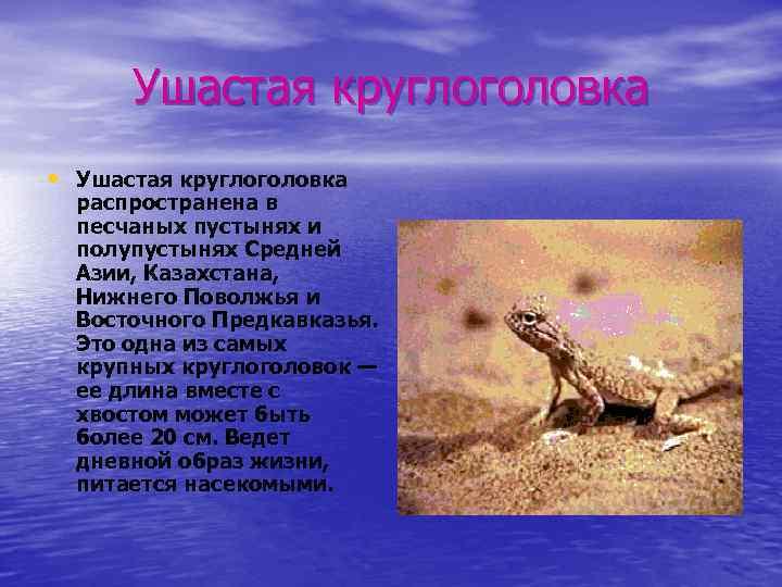 Ушастая круглоголовка • Ушастая круглоголовка распространена в песчаных пустынях и полупустынях Средней Азии, Казахстана,