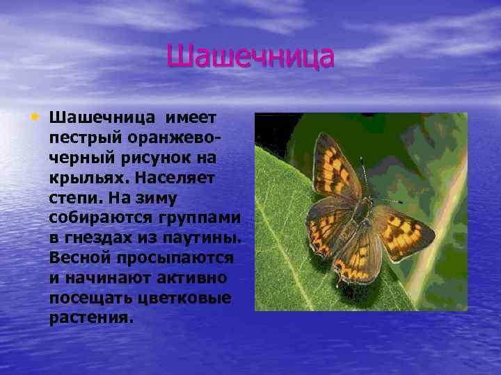 Шашечница • Шашечница имеет пестрый оранжевочерный рисунок на крыльях. Населяет степи. На зиму собираются