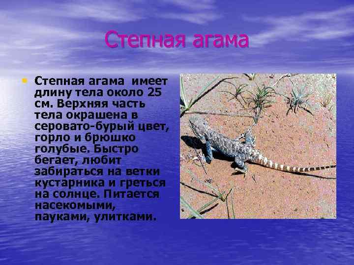 Степная агама • Степная агама имеет длину тела около 25 см. Верхняя часть тела