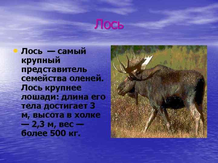 Лось • Лось — самый крупный представитель семейства оленей. Лось крупнее лошади: длина его