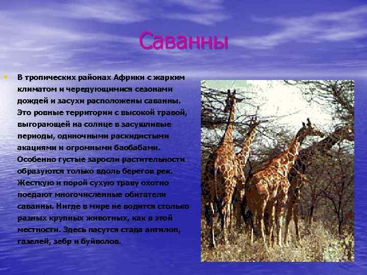 Саванны • В тропических районах Африки с жарким климатом и чередующимися сезонами дождей и