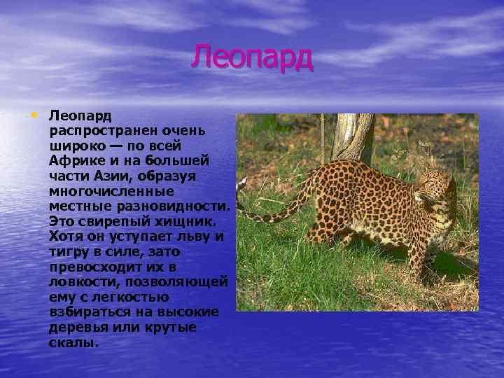 Леопард • Леопард распространен очень широко — по всей Африке и на большей части