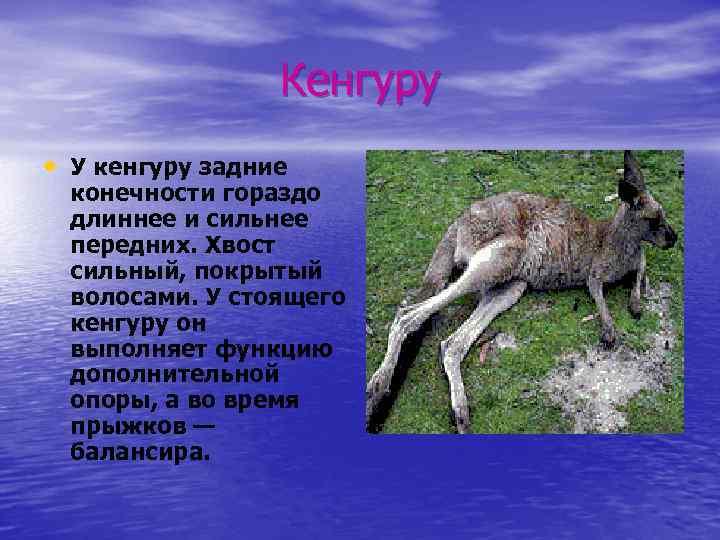 Кенгуру • У кенгуру задние конечности гораздо длиннее и сильнее передних. Хвост сильный, покрытый