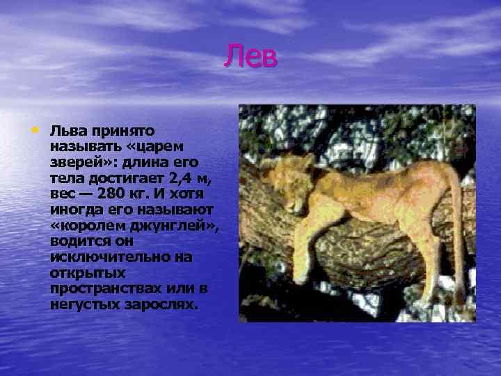 Лев • Льва принято называть «царем зверей» : длина его тела достигает 2, 4