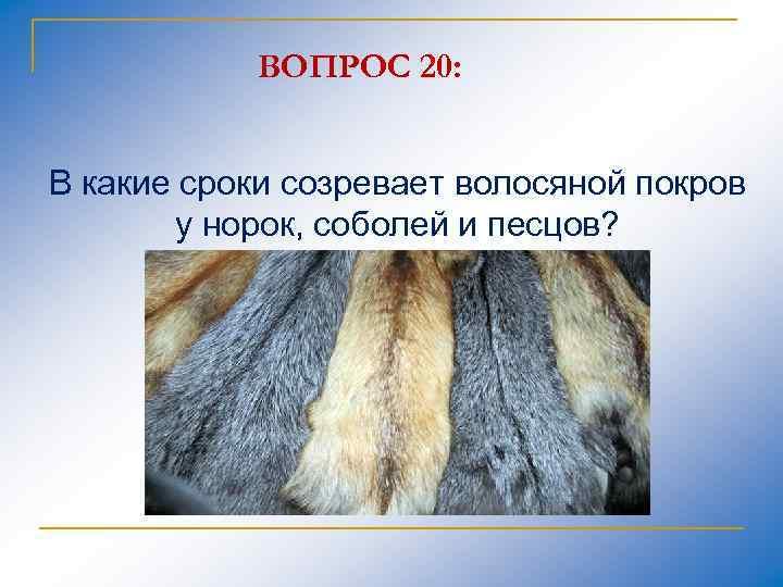 ВОПРОС 20: В какие сроки созревает волосяной покров у норок, соболей и песцов?