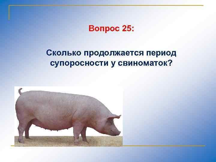 Вопрос 25: Сколько продолжается период супоросности у свиноматок?