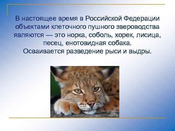 В настоящее время в Российской Федерации объектами клеточного пушного звероводства являются — это норка,