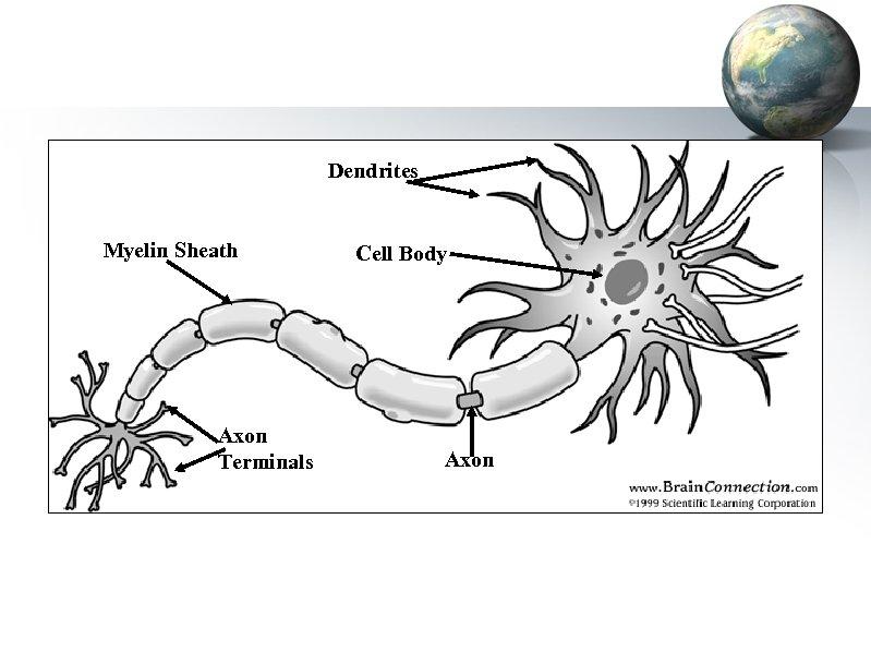 Dendrites Myelin Sheath Axon Terminals Cell Body Axon