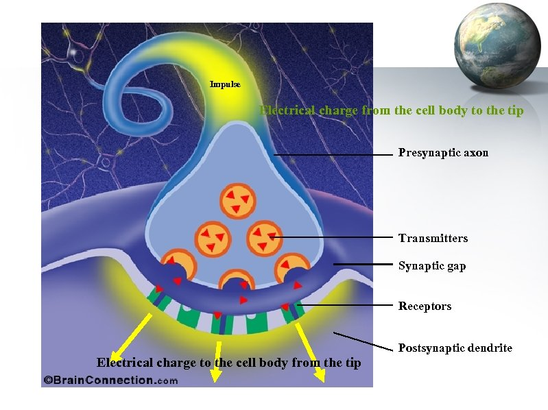 Impulse Electrical charge from the cell body to the tip Presynaptic axon Transmitters Synaptic