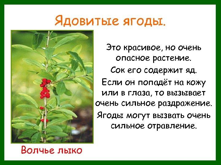 Ядовитые ягоды. Это красивое, но очень опасное растение. Сок его содержит яд. Если он