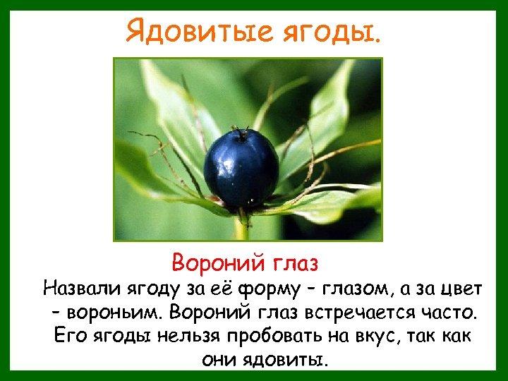 Ядовитые ягоды. Вороний глаз Назвали ягоду за её форму – глазом, а за цвет