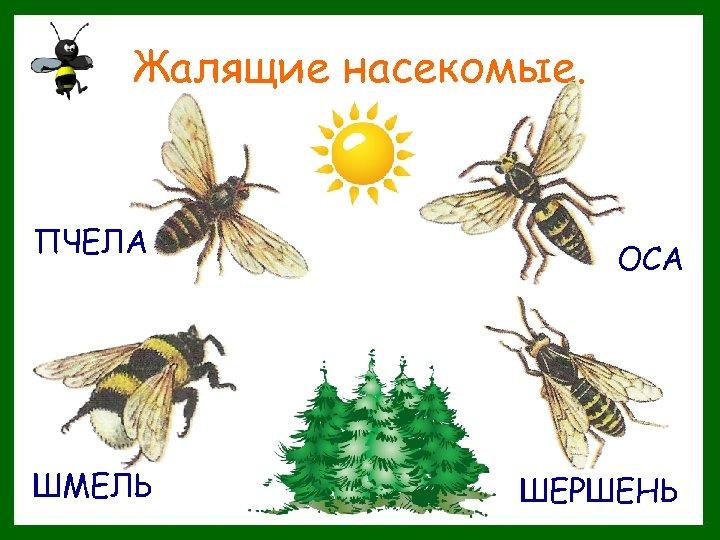 Жалящие насекомые. ПЧЕЛА ШМЕЛЬ ОСА ШЕРШЕНЬ