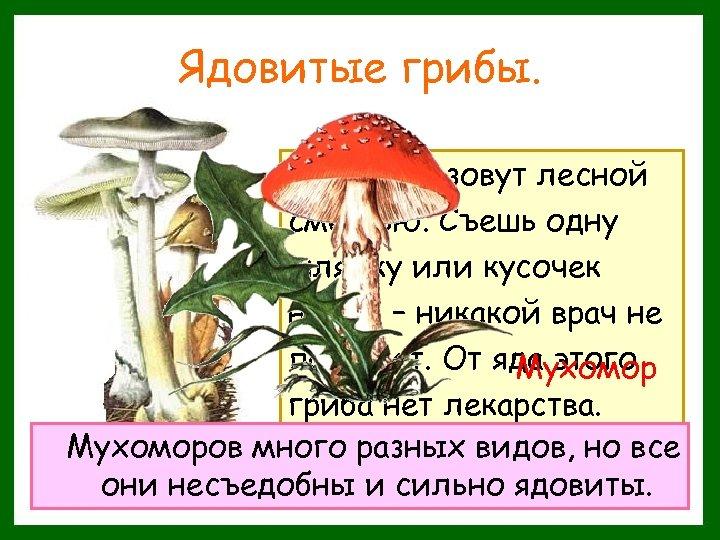 Ядовитые грибы. Этот гриб зовут лесной смертью. Съешь одну шляпку или кусочек ножки –