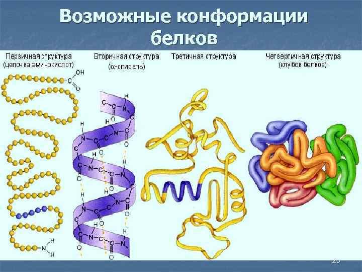 Возможные конформации белков 25