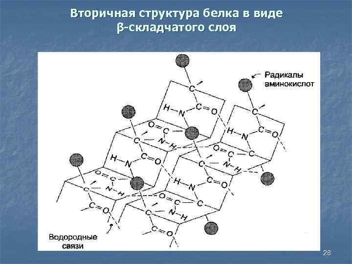 Вторичная структура белка в виде β-складчатого слоя 28