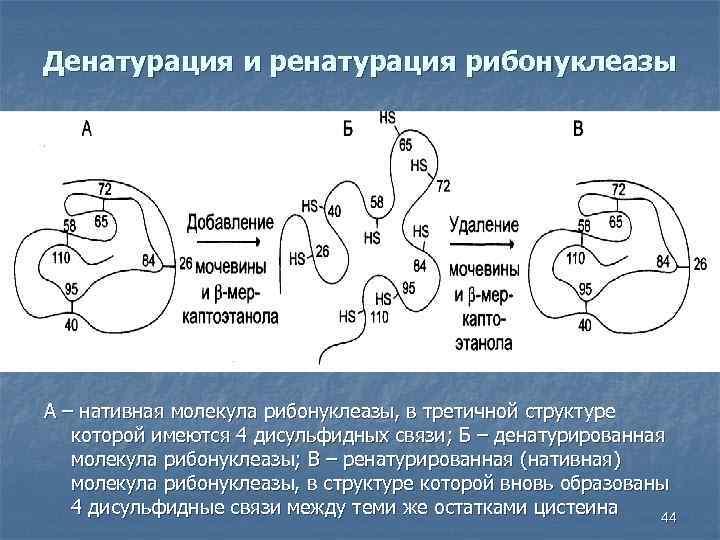 Денатурация и ренатурация рибонуклеазы А – нативная молекула рибонуклеазы, в третичной структуре которой имеются
