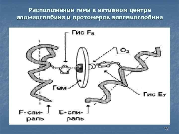 Расположение гема в активном центре апомиоглобина и протомеров апогемоглобина 53